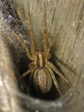 Picture of Agelenopsis spp. (Grass Spiders) - Dorsal,Webs