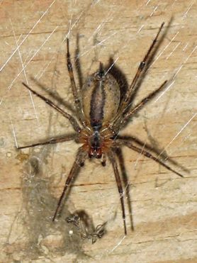 Picture of Agelenopsis spp. (Grass Spiders) - Ventral