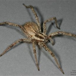 Featured spider picture of Agelenopsis aperta