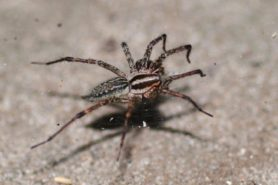 Picture of Agelenopsis spp. (Grass Spiders) - Female - Dorsal