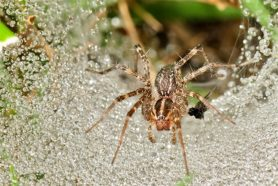 Picture of Agelenopsis spp. (Grass Spiders) - Female - Eyes,Webs