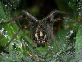 Picture of Agelenopsis naevia - Female - Eyes,Webs