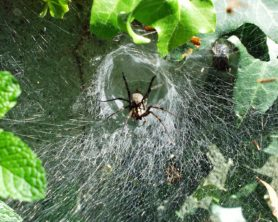 Picture of Agelenopsis naevia - Dorsal,Webs