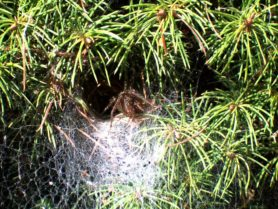 Picture of Agelenopsis spp. (Grass Spiders) - Webs
