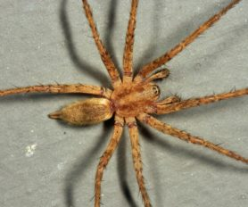 Picture of Agelenopsis utahana - Male - Dorsal
