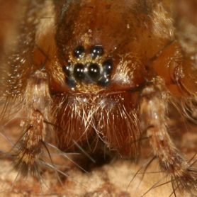 Picture of Agelenopsis spp. (Grass Spiders) - Female - Eyes