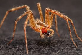 Picture of Agelenopsis spp. (Grass Spiders) - Male - Eyes