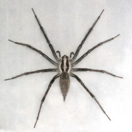 Featured spider picture of Agelenopsis naevia