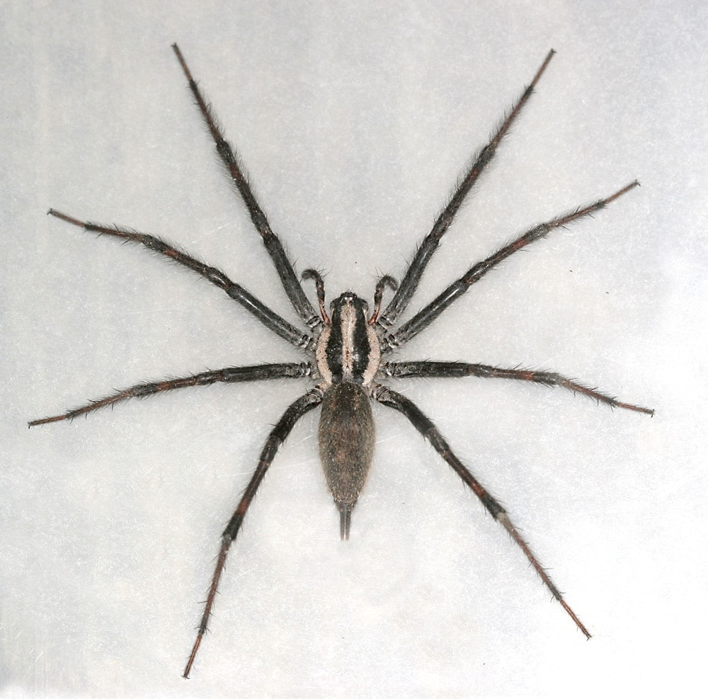 Picture of Agelenopsis naevia - Dorsal
