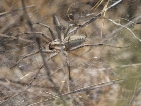 Picture of Agelenopsis aperta - Dorsal,Webs