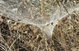 Picture of Agelenopsis aperta - Webs