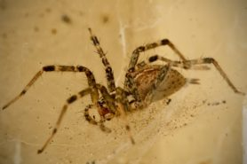 Picture of Agelenopsis spp. (Grass Spiders) - Male - Lateral,Webs