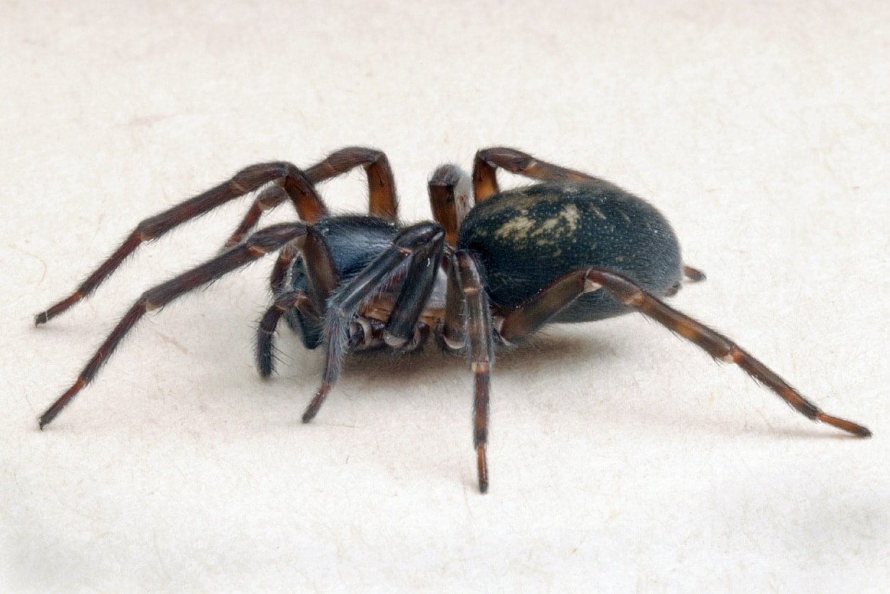 Picture of Amaurobius ferox (Black Lace-Weaver) - Lateral