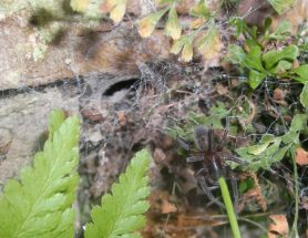 Picture of Amaurobius ferox (Black Lace-Weaver) - Webs