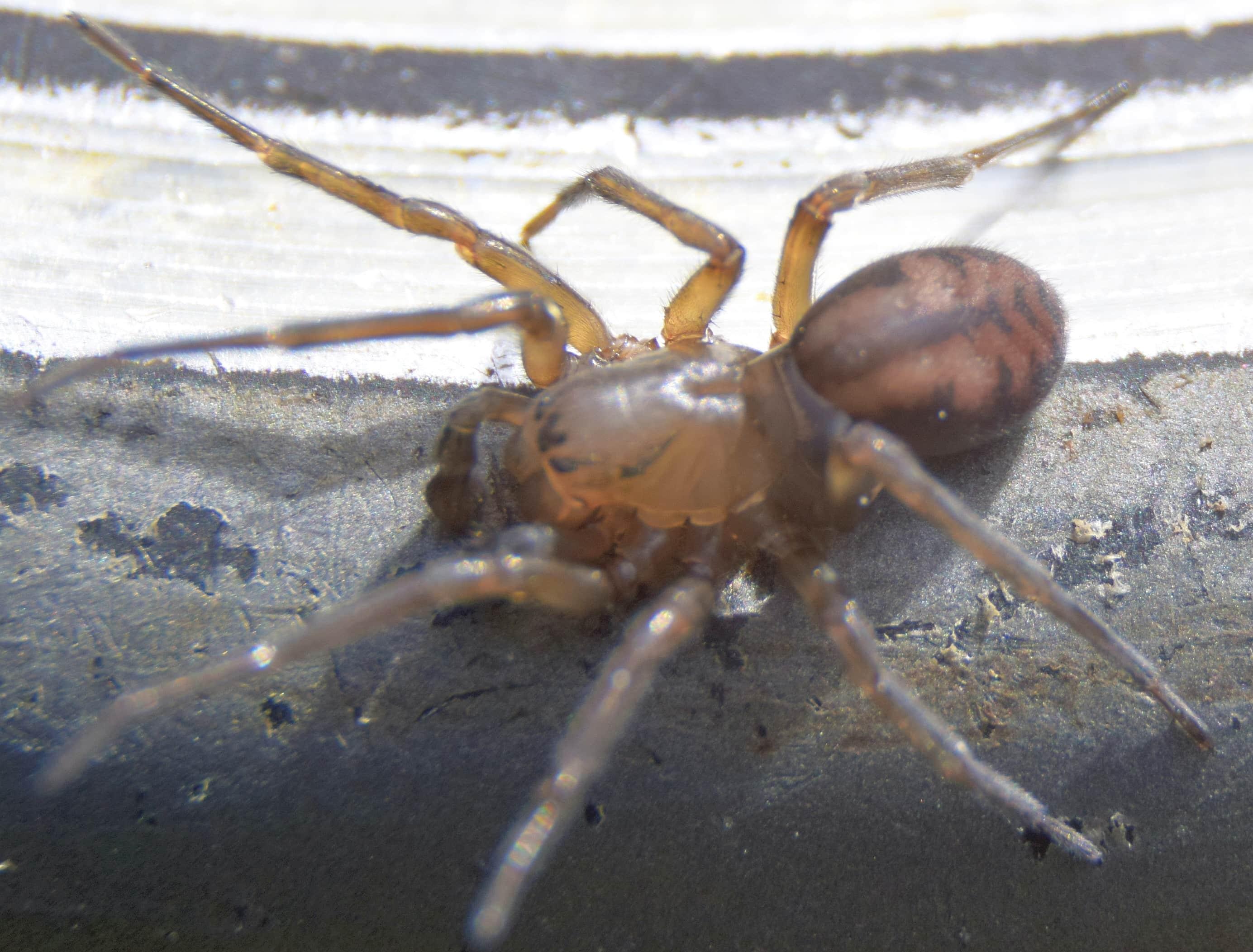 Picture of Callobius bennetti - Male - Dorsal