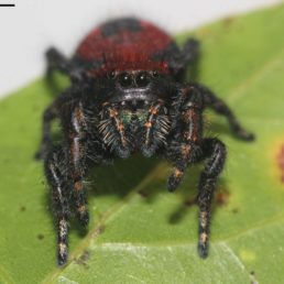Featured spider picture of Phidippus apacheanus (Apache Jumping Spider)