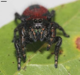 Picture of Phidippus apacheanus (Apache Jumping Spider) - Female - Eyes