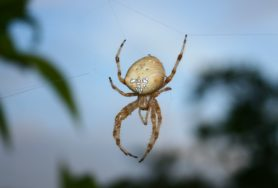 Picture of Araneus pallidus (Pale Cross Orb-weaver) - Dorsal