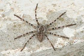 Picture of Eusparassus dufouri - Dorsal