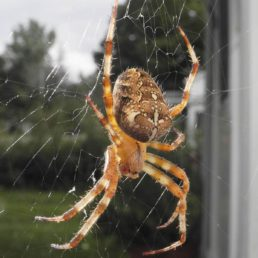 Featured spider picture of Araneus diadematus (Cross Orb-weaver)