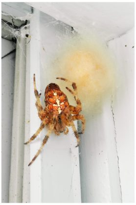 Picture of Araneus diadematus (Cross Orb-weaver) - Dorsal,Egg Sacs