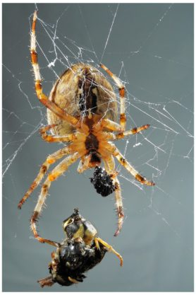 Picture of Araneus diadematus (Cross Orb-weaver) - Female - Ventral,Prey