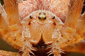 Picture of Araneus diadematus (Cross Orb-weaver) - Female - Eyes