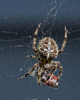 Picture of Araneus diadematus (Cross Orb-weaver) - Female - Dorsal,Webs,Prey