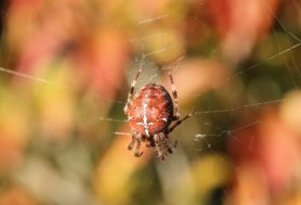 Picture of Araneus diadematus (Cross Orb-weaver) - Dorsal,Gravid,Webs