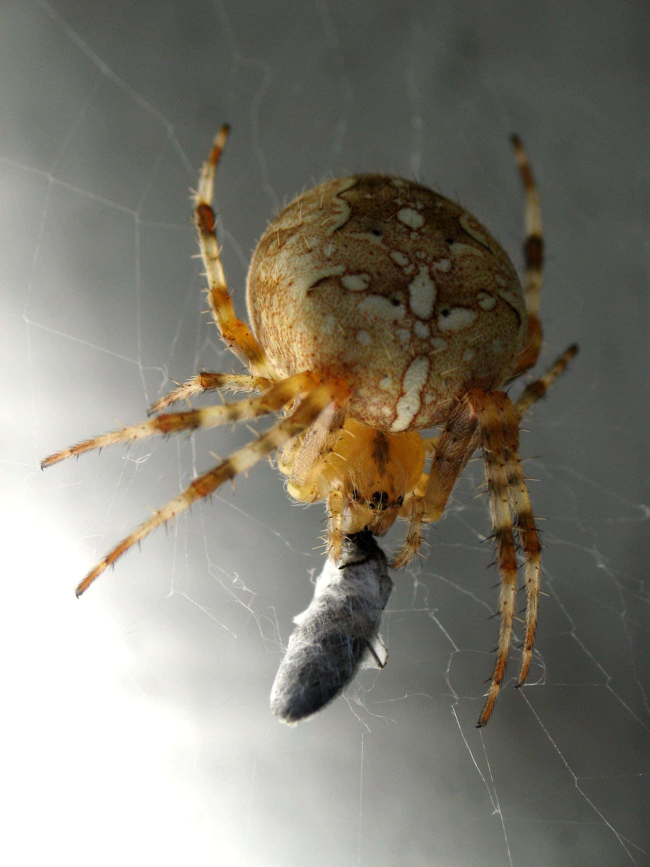 Picture of Araneus diadematus (Cross Orb-weaver) - Female - Gravid,Prey