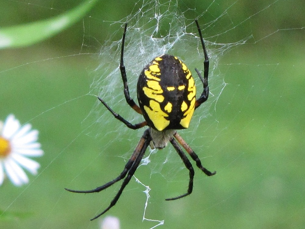 Picture of Argiope aurantia (Black and Yellow Garden Spider) - Dorsal,Gravid,Webs