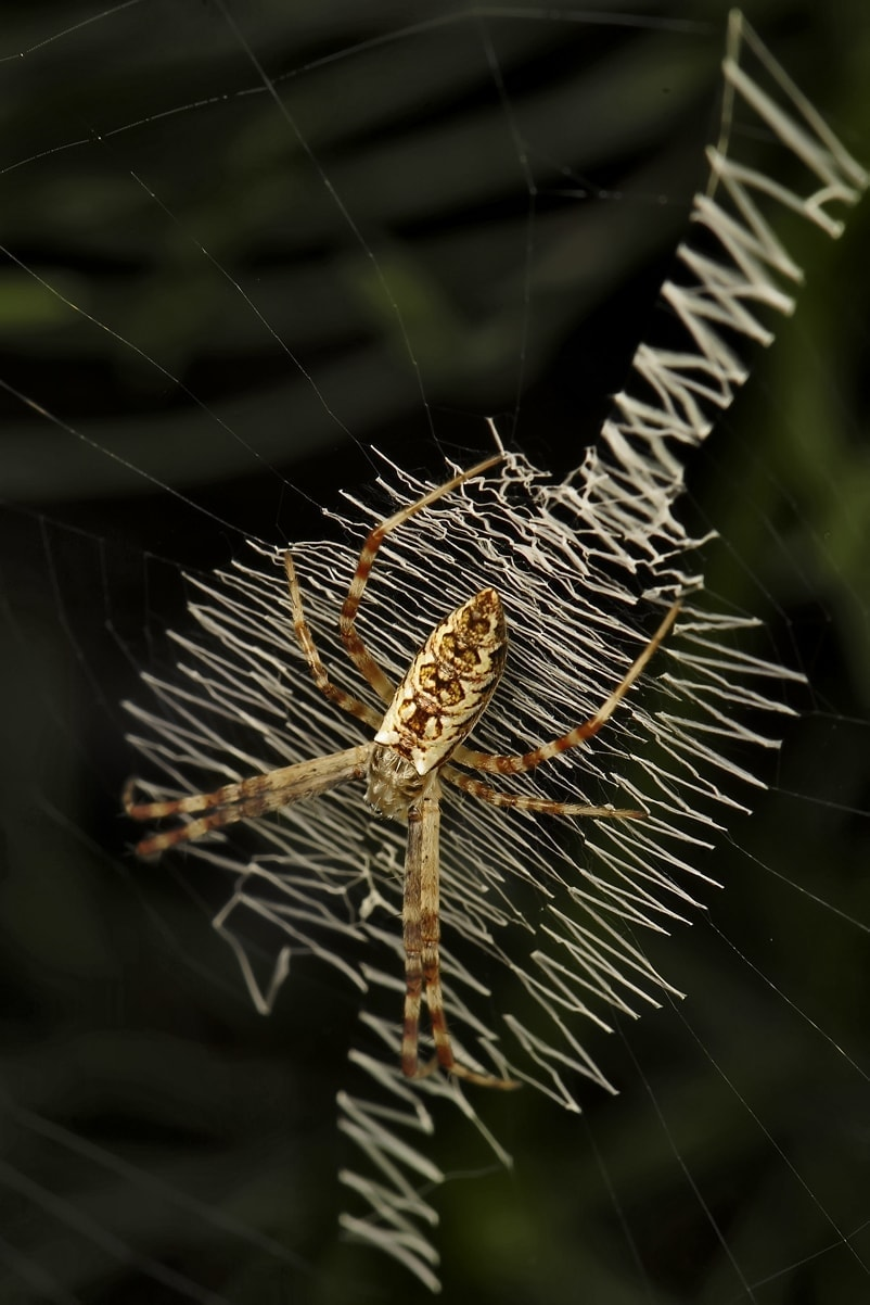 Picture of Argiope aurantia (Black and Yellow Garden Spider) - Dorsal,Webs