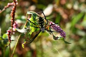 Picture of Argiope aurantia (Black and Yellow Garden Spider) - Dorsal