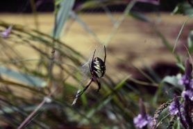 Picture of Argiope aurantia (Black and Yellow Garden Spider) - Gravid,Lateral
