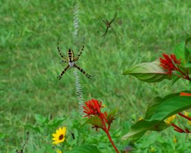 Picture of Argiope aurantia (Black and Yellow Garden Spider) - Male,Female - Dorsal,Ventral,Webs