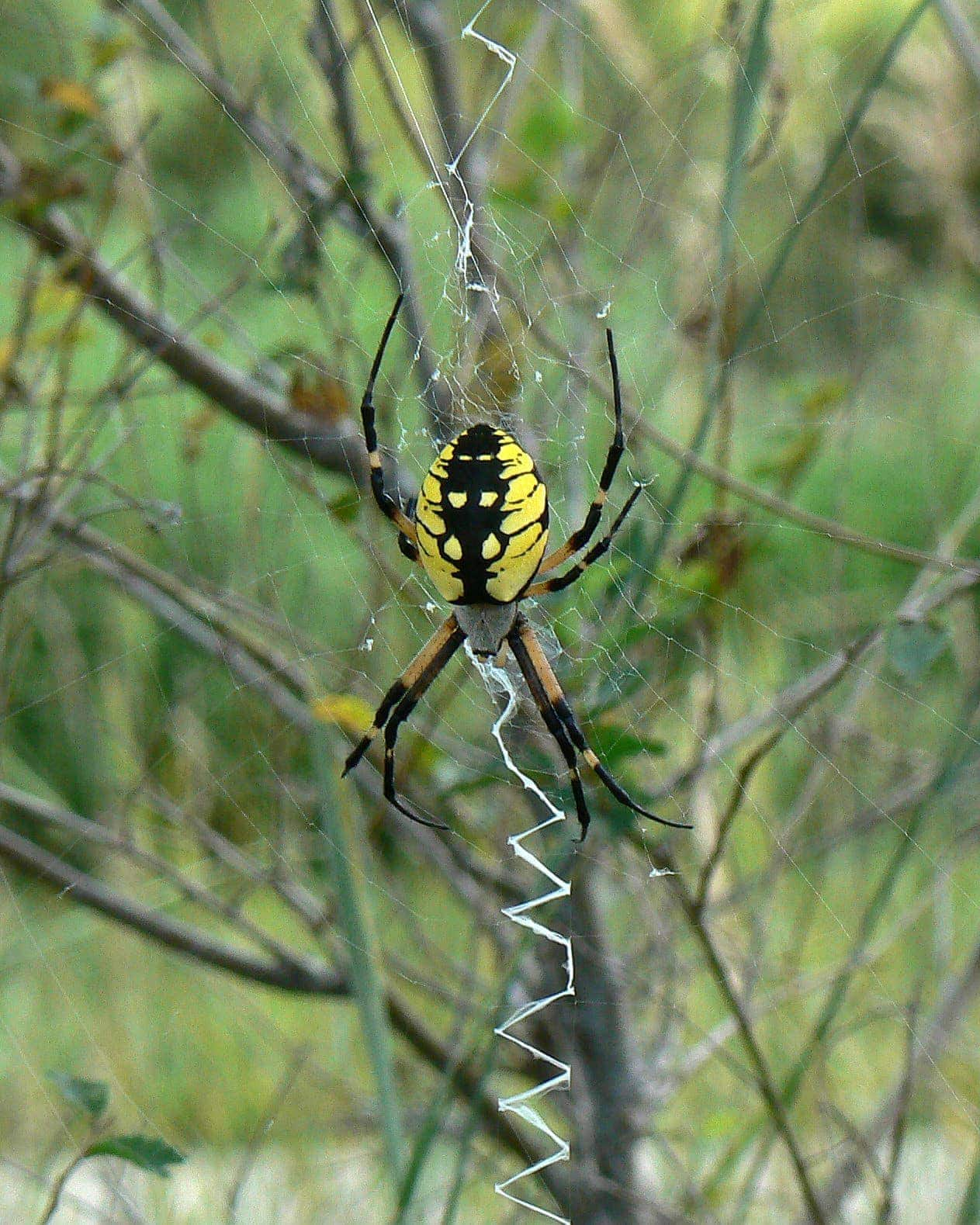 Picture of Argiope aurantia (Black and Yellow Garden Spider) - Female - Dorsal,Gravid,Webs