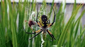 Picture of Argiope aurantia (Black and Yellow Garden Spider) - Female - Dorsal,Gravid,Webs,Prey