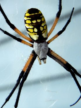 Picture of Argiope aurantia (Black and Yellow Garden Spider) - Female - Dorsal