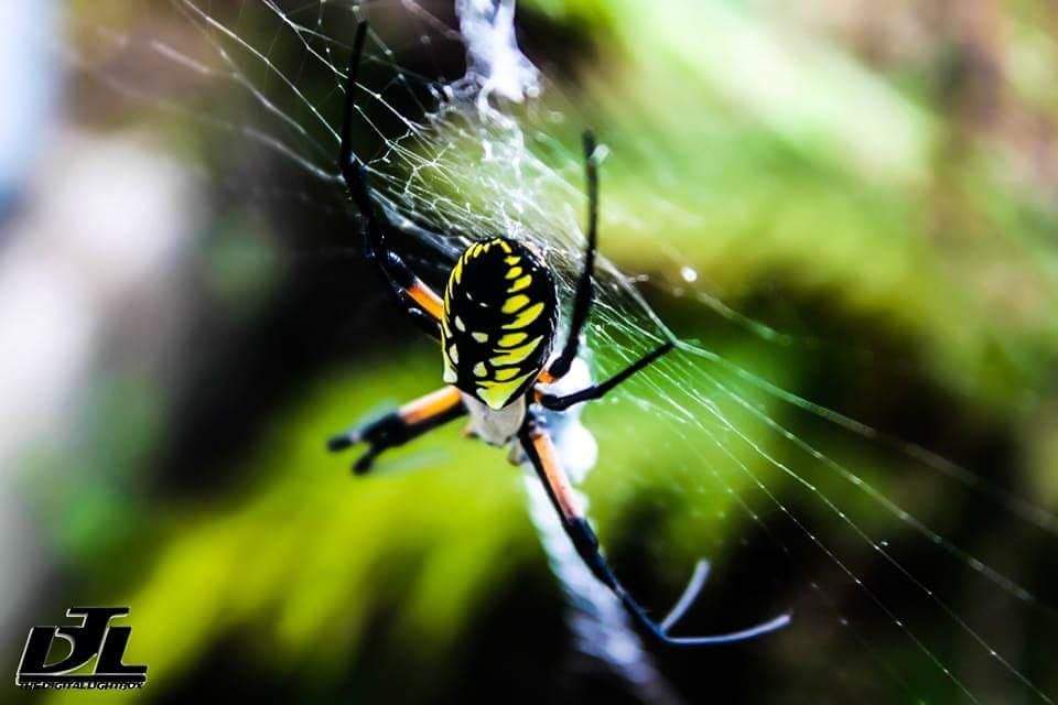 Picture of Argiope aurantia (Black and Yellow Garden Spider) - Female - Dorsal,Lateral,Webs