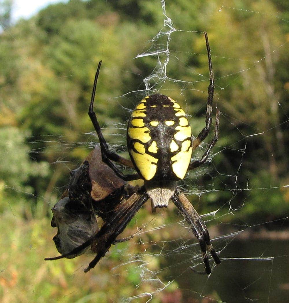 Picture of Argiope aurantia (Black and Yellow Garden Spider) - Dorsal,Gravid