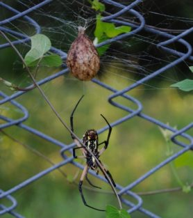 Picture of Argiope aurantia (Black and Yellow Garden Spider) - Egg Sacs,Ventral