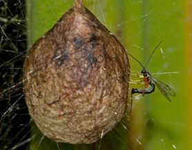 Picture of Argiope aurantia (Black and Yellow Garden Spider) - Egg Sacs