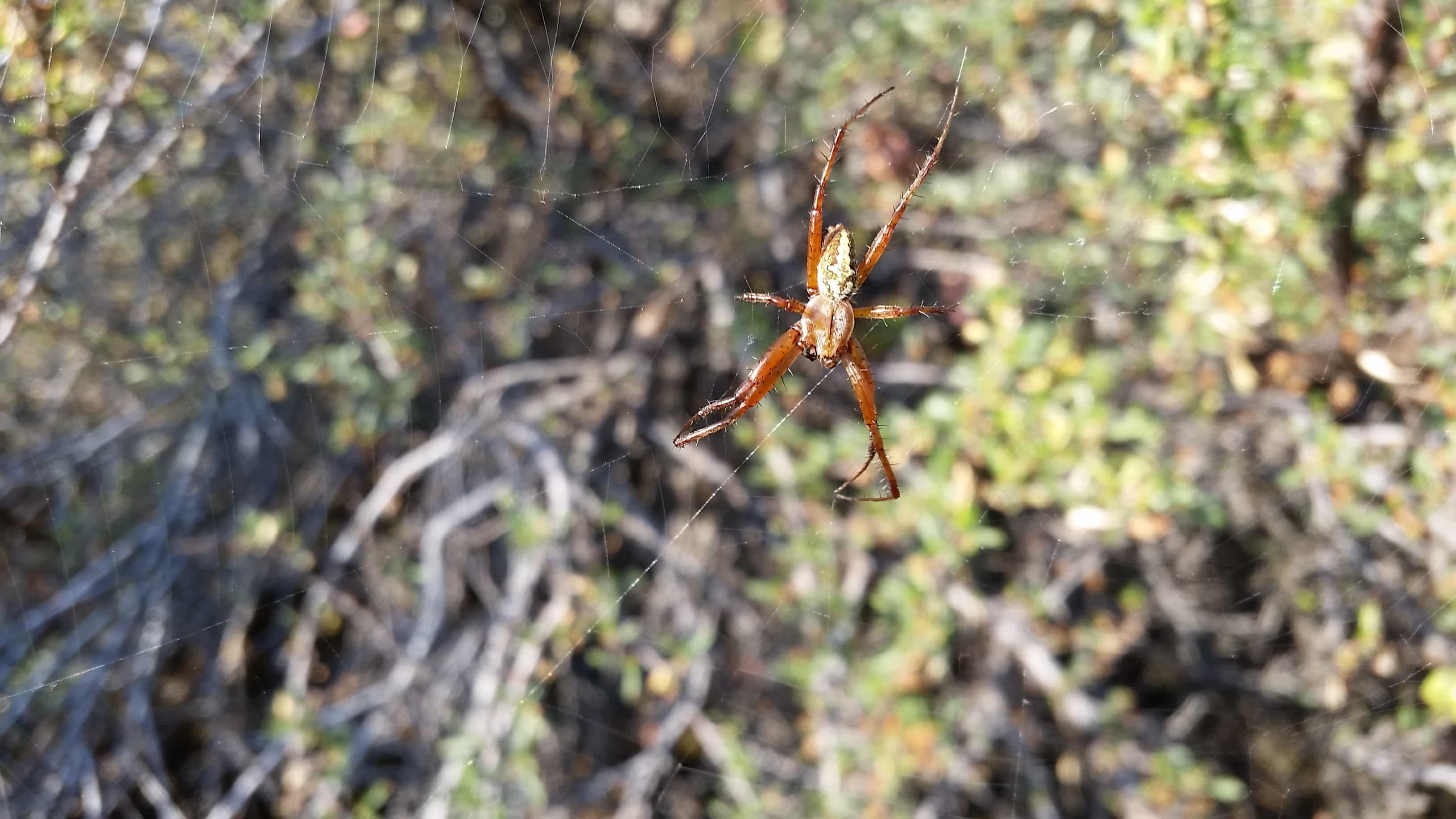 Picture of Neoscona oaxacensis (Western Spotted Orb-weaver) - Male - Dorsal,Webs