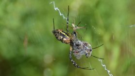 Picture of Argiope spp. (Garden Orb-weavers) - Male,Female - Ventral,Webs,Prey