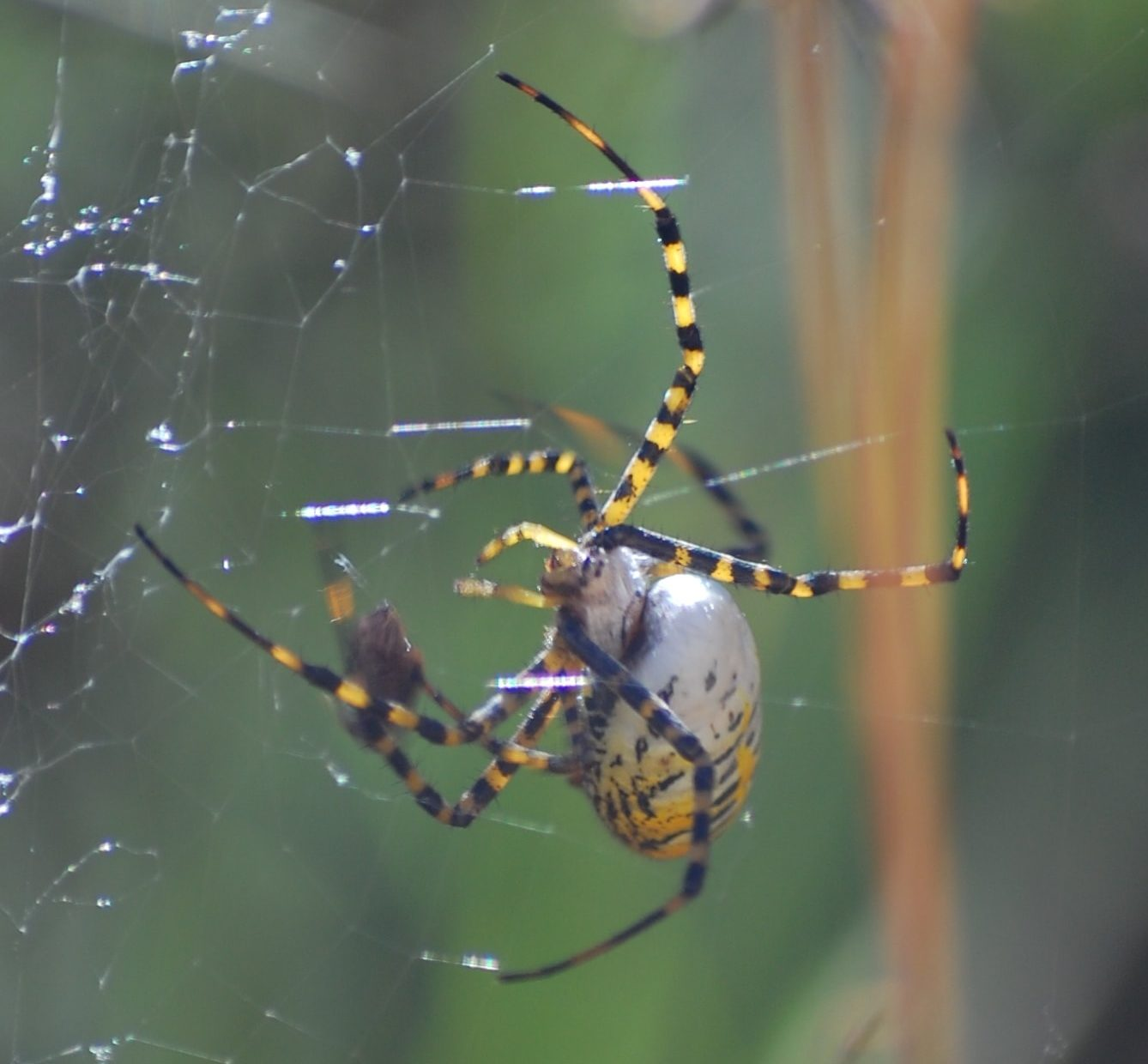 Picture of Argiope trifasciata (Banded Garden Spider) - Female - Webs
