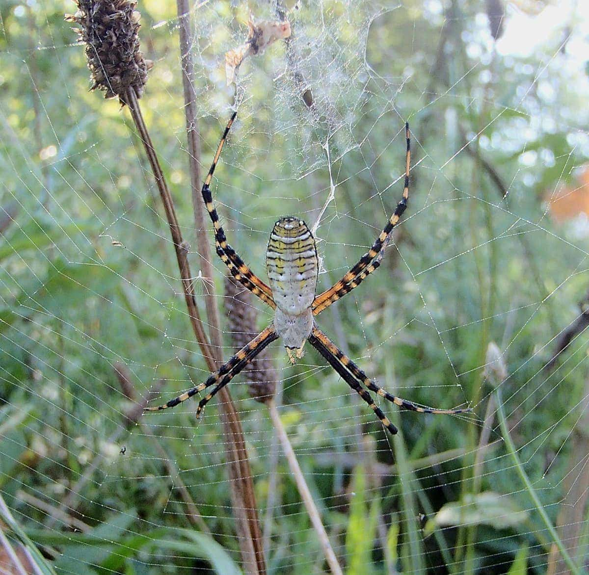 Picture of Argiope trifasciata (Banded Garden Spider) - Female - Dorsal,Webs