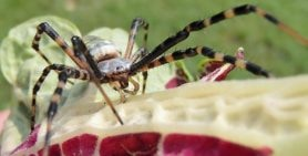 Picture of Argiope trifasciata (Banded Garden Spider) - Female - Eyes