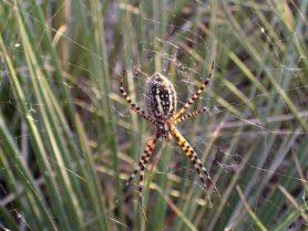 Picture of Argiope trifasciata (Banded Garden Spider) - Female - Ventral,Webs
