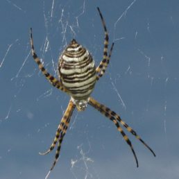 Featured spider picture of Argiope trifasciata (Banded Garden Spider)