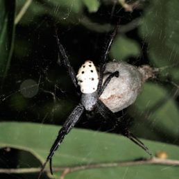 Featured spider picture of Cyrtophora cylindroides